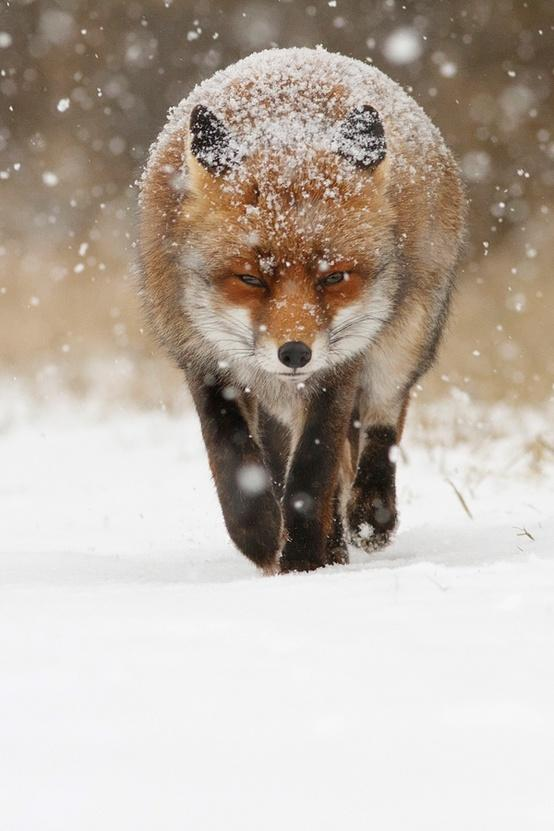 Favorite Wild Animals / Snow Fox #fox