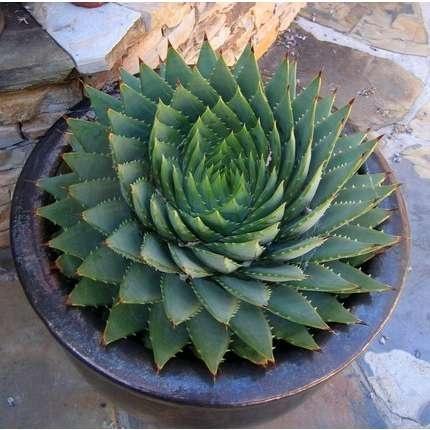 Garden / Aloe Polyphylla: Spiral Aloe Cactus