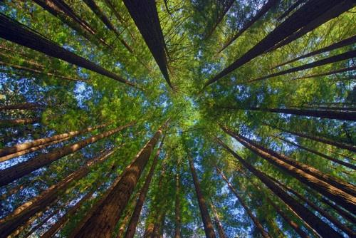 Goober. / redwoods