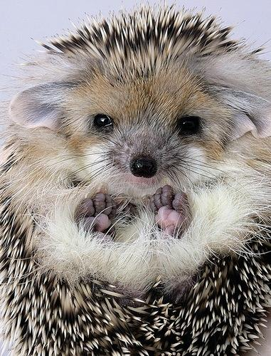 Hedgehog | Animaux