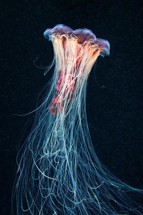 Jellyfish Madness on