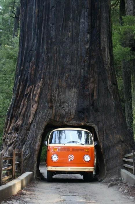 P for... Photography / Drive through a sequoia tree