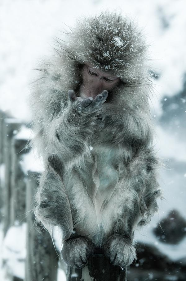 Snow Monkeys Nagano Japan 2