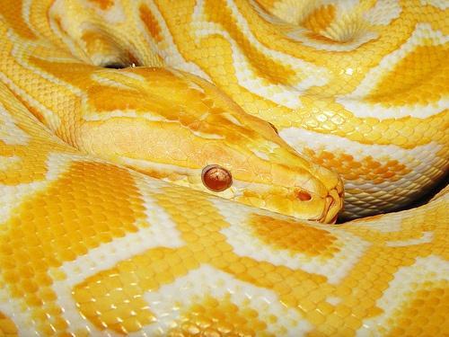 YELLOW / Python